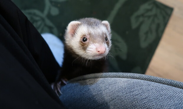 Train Your Ferret To Come When Called