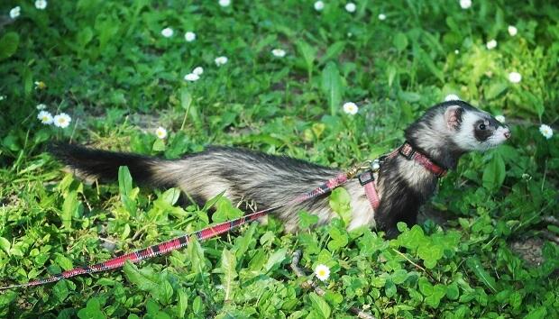 What When Ferret Escapes