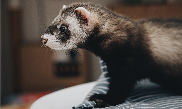 are ferrets illegal to own in california