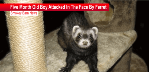 ferret attack report