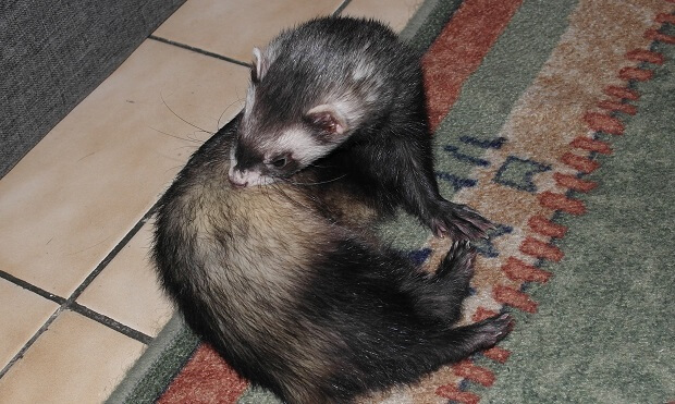 ferret is cleaning