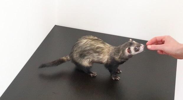 ferret training tricks