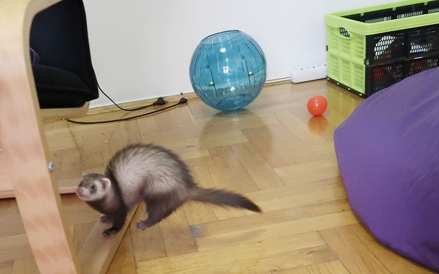 ferret with exercise ball