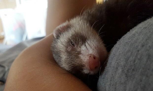 ferrets aren't wild animals