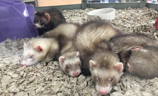 ferrets in pet store cages