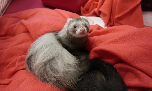 healthy looking ferret