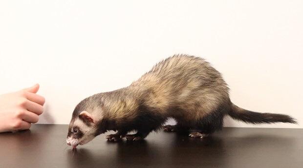 keep ferret training short