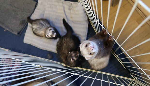 pet ferret for sale
