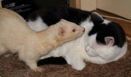 Are Ferrets Similar To Cats