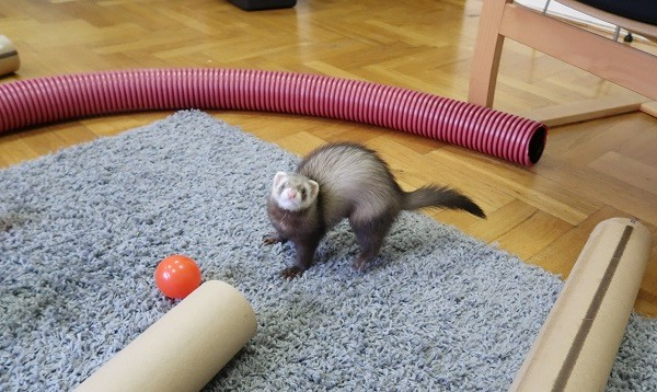 Ferrets Are Playful