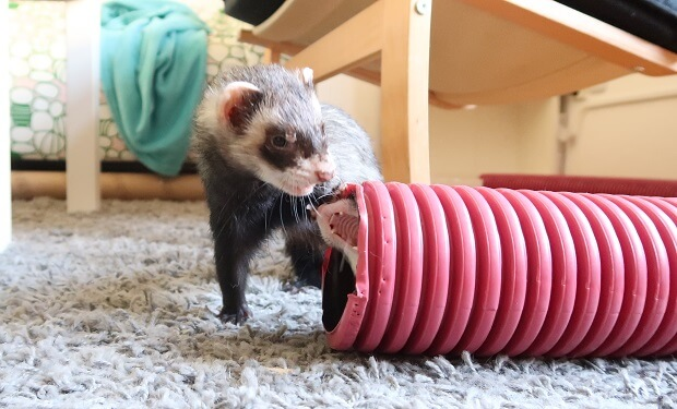 Ferrets Playing With Other Pets