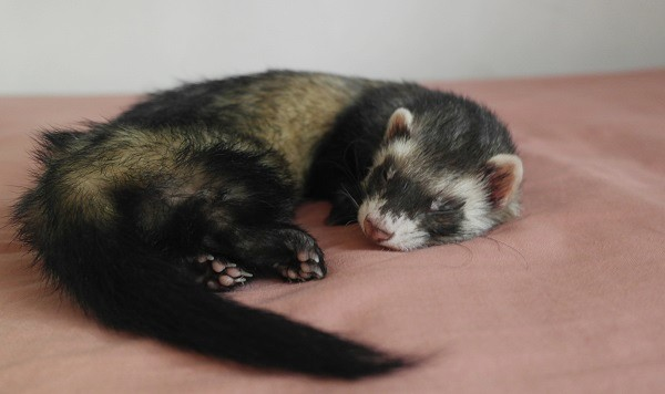 Ferrets Sleep Most Of The Day