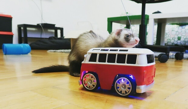 Ferrets play with racing car