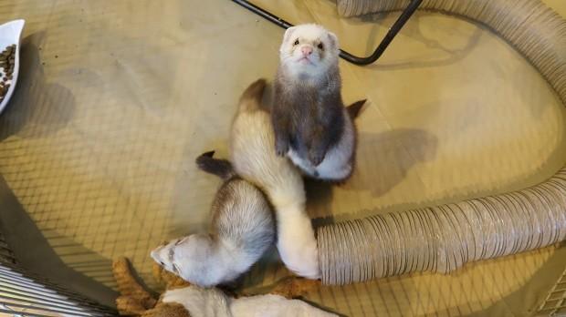 Investigate Where To Buy A Ferret