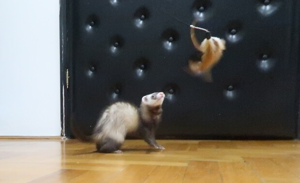 Playing With Your Ferret