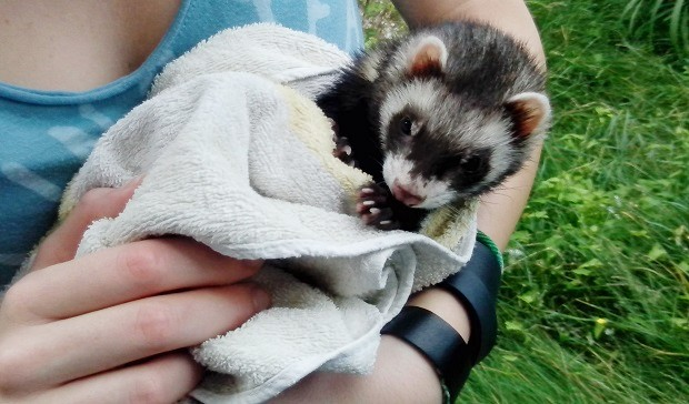are ferrets clean pets