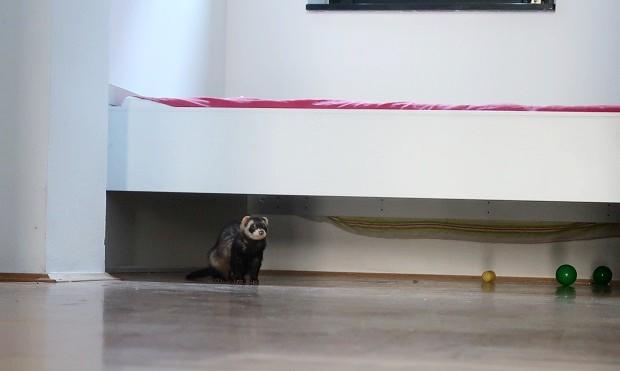 are ferrets good apartment pets