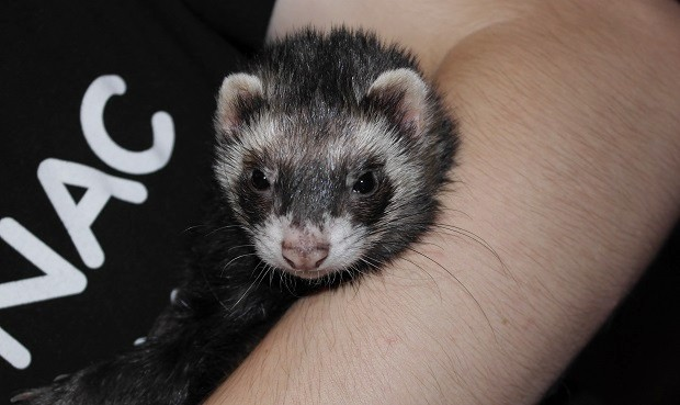 are ferrets good pets for 12 year olds