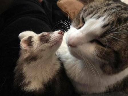 are ferrets related to cats