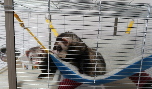 do you keep ferrets in a cage