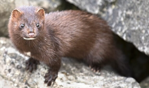 european mink animals that look like ferrets