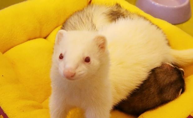 ferret eyes