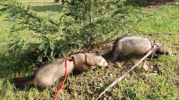 ferret harness and leash