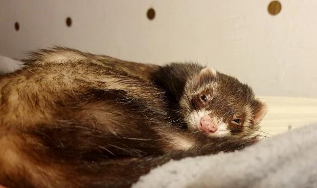 ferrets near me for adoption