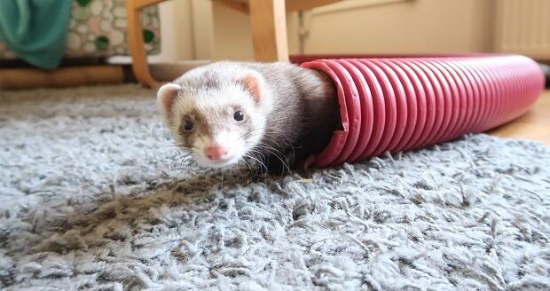 getting a ferret safe toys