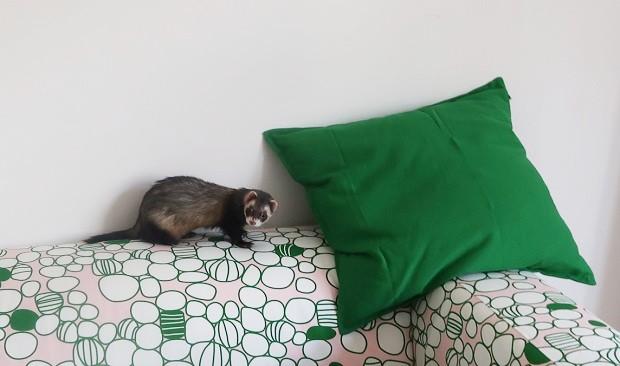 getting a ferret