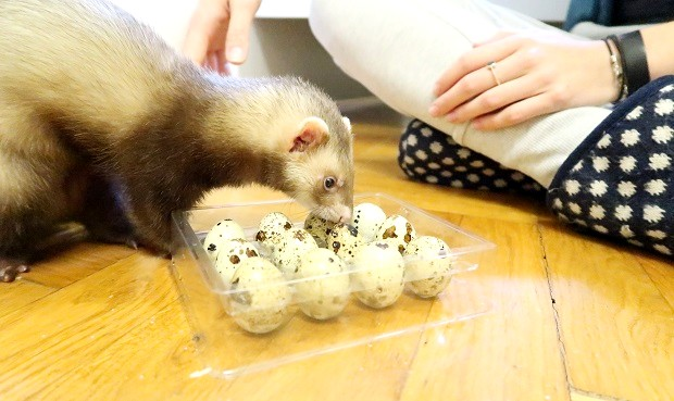 good nutrition for good ferret age span