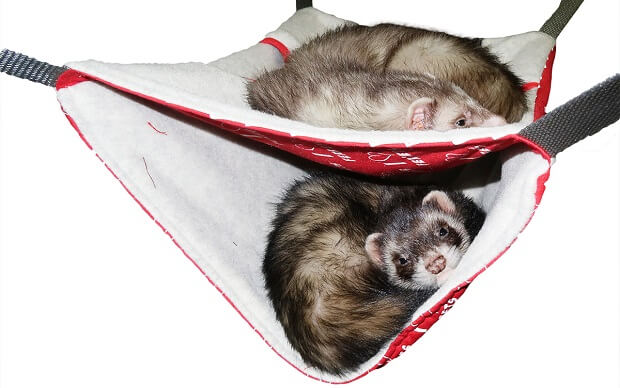 hammocks and blankets what do you need to have a ferret