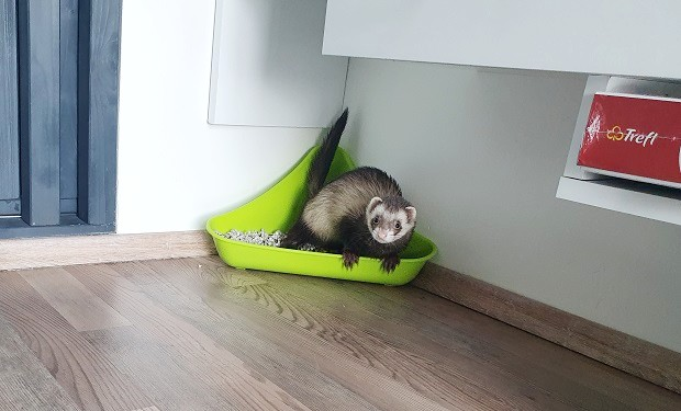 how to keep a ferret litter trained