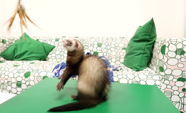 how to keep ferrets entertained