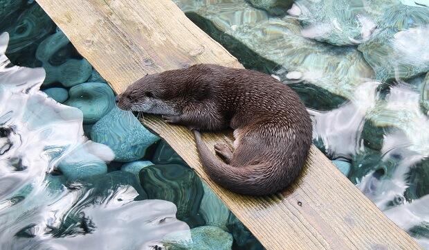 otter ferret looking animal