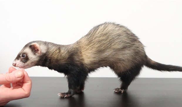what does a ferret look like