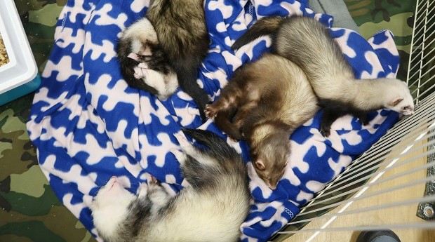what is a ferret look like