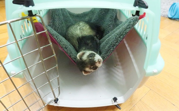 what you need to know before getting a ferret transporter