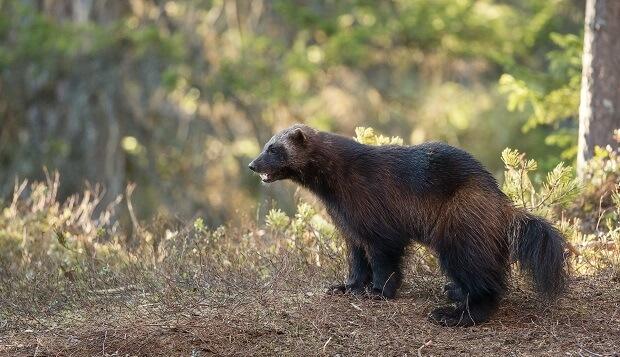 wolverine animals similar to ferrets