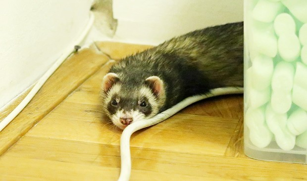 Ferret With Trouble Breathing