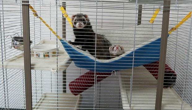 Ferrets Living Habits
