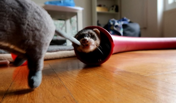 Use Squeaky Toys For Ferrets