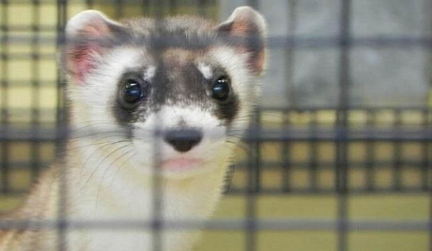 black footed ferret breeding programs