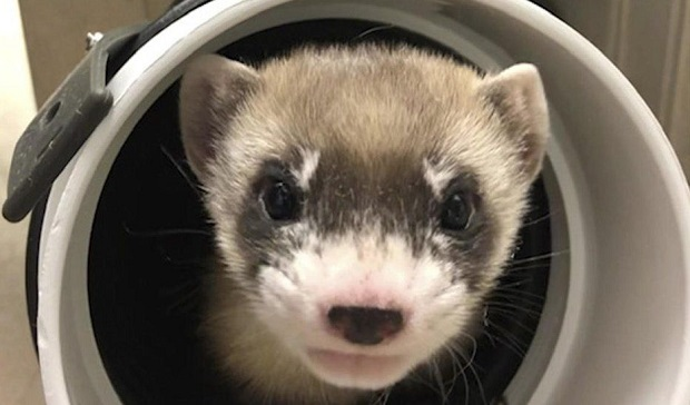 black footed ferret clone elizabeth ann ferret