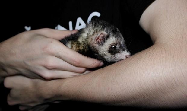 do ferrets cause allergies