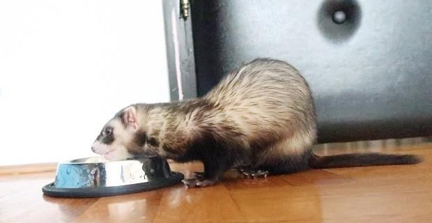 good ferret food