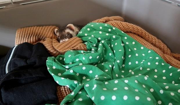 how do i know if my ferret is sick