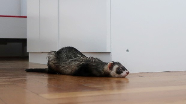 how do you know if your ferret is sick