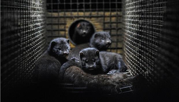 minks on fur farms