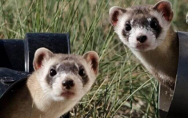 the black footed ferret behavior